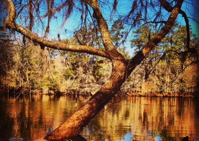 Swamp tree, Givhans Ferry, SC.