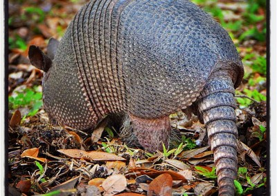 Armadillo—Circle B Bar Reserve